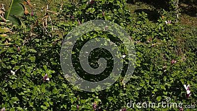 Blossoming liliiflora магнолии цветков на дереве Флора Monte акции видеоматериалы