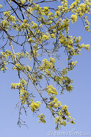 The blossoming maple