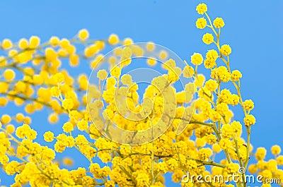 Blossoming mimosa