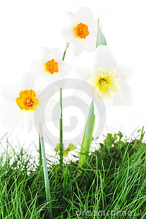 Blossoming narcissuses