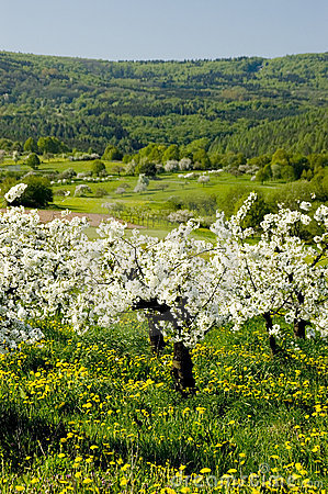 Free Blossoming Of The Apple Trees Stock Images - 1481584
