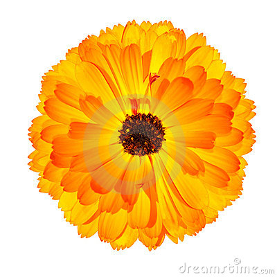 Blossoming Orange Pot Marigold Flower Isolated