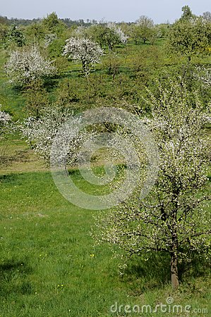 Blossoming orchard #5, baden