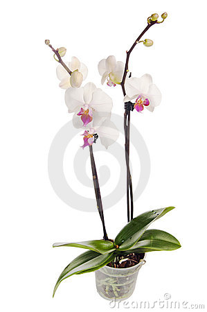 Blossoming orchid