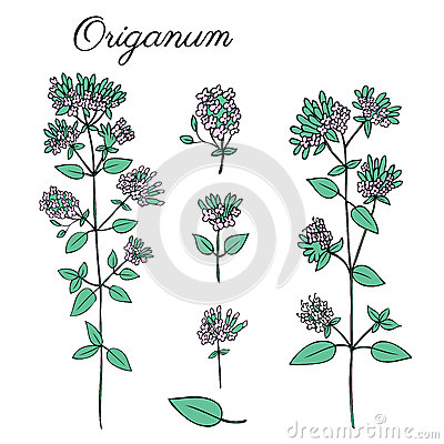 Blossoming Oregano flowers vector colorful doodle sketch hand drawn healing herb Marjoram isolated on white, botanical Vector Illustration