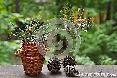 Blossoming pine-tree