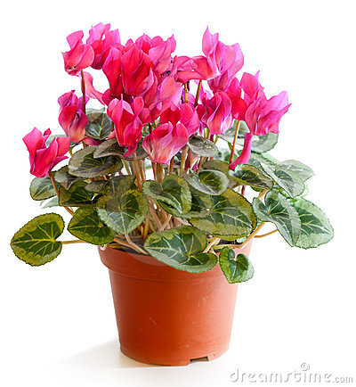 Free Blossoming Plant Of Cyclamen Stock Photography - 20628422