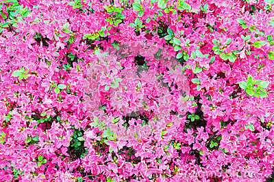 Blossoming Rhododendron bush with pink flowers
