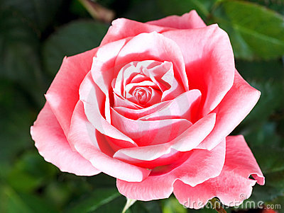 Blossoming rose flower