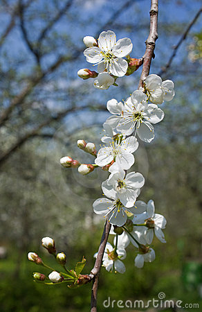 Blossoming spring branch of cherry tree