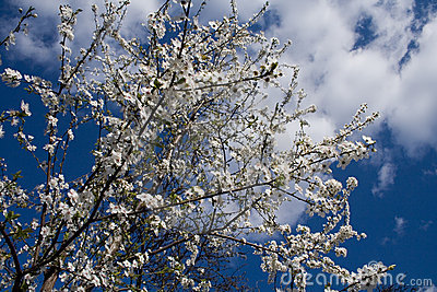 Blossoming spring branches of cherry treest