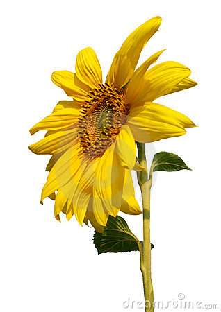 Blossoming sunflower on white background