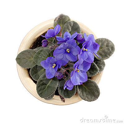Blossoming violets in flower pot.
