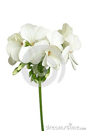 Free Blossoming White Geranium Stock Photos - 24392993