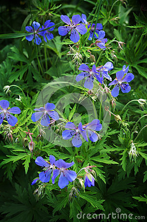 Free Blossoming Wildflowers Geranium Field Stock Photos - 40410463
