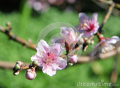 Beautiful bright pink cherry blossom flowers