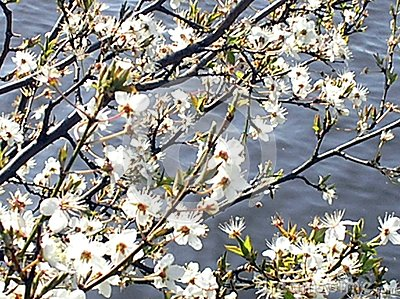 Blossoms at the sea
