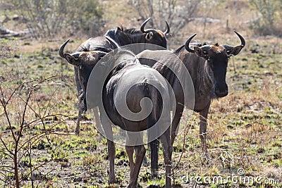 Blou Wildebeest