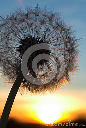 Blow-ball of dandelion