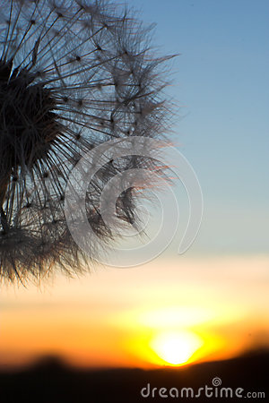 Blow-ball of dandelion at sunset