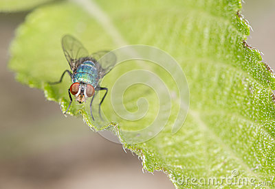 Blow Fly on a Leaf