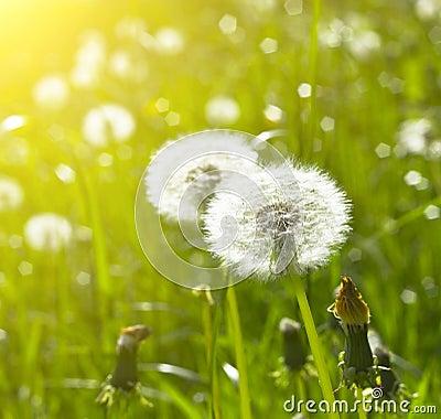 Blowballs on meadow