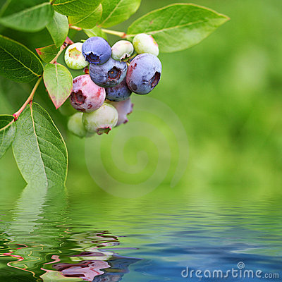 Bluberry plant reflected in rendered water