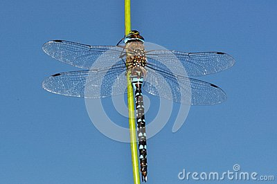Blue Aeshna mixta dragonfly upon sky