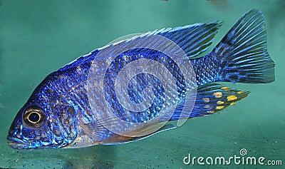 Blue african Cichlid, Lake Malawi