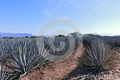 Agave Placebo Were Better Than Nothing For Cough