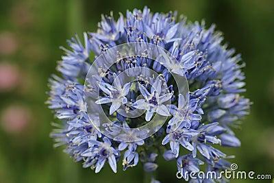 Blue Allium caeruleum Flowers
