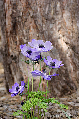 Free Blue Anemone (coronaria Or Mr. Fokker) Stock Image - 41741401