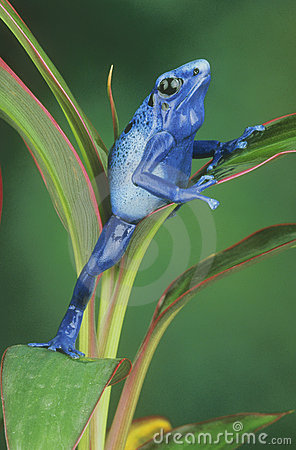 Free Blue Arrow Poison Frog Stock Photos - 8062983