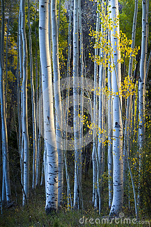 Free Blue Aspens With Morning Sunlight And Fall Yellow Stock Photos - 32699643