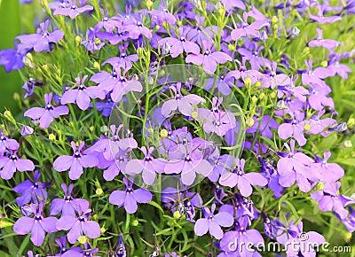Blue Bell Beauty - Wild Flowers