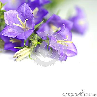 Free Blue Bell Flower Stock Photos - 19894593