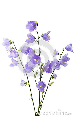 Free Blue Bell Flower Stock Photography - 72550972