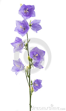 Free Blue Bell Flower Royalty Free Stock Photos - 72551078