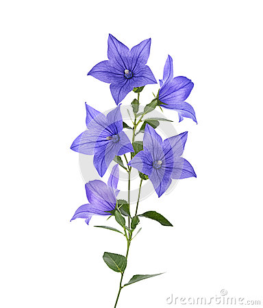 Free Blue Bell Flowers Royalty Free Stock Photos - 56795478