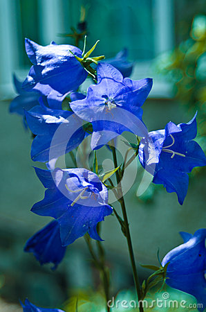 Free Blue Bells Stock Photography - 41843372