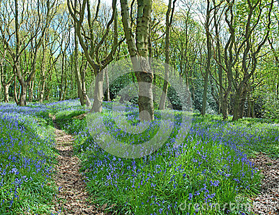 Blue Bells Along Woodland Paths