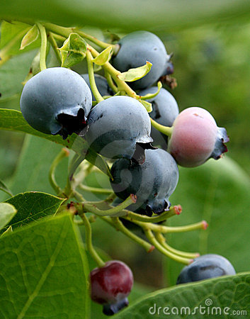 Free Blue Berries Royalty Free Stock Image - 2779316