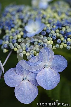 Blue Billow Lacecap Hydrangea