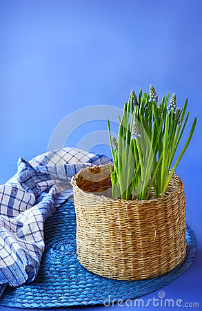 Blue muscari  in a  basket