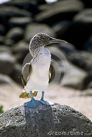 Blue booby at attention