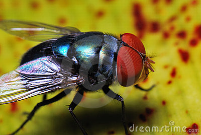 Blue Bottle Fly