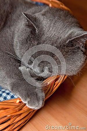 Free Blue British Shorthair Cat Royalty Free Stock Image - 20836176