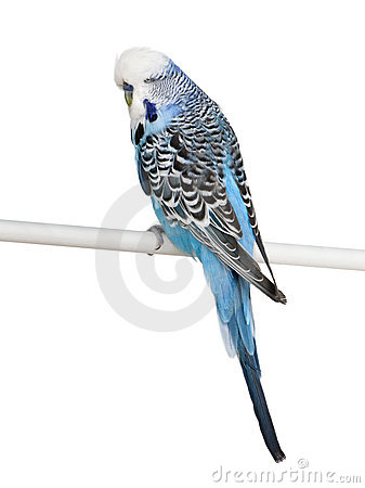 Blue Budgerigar bird in front of wite background
