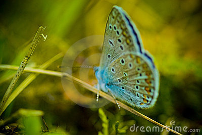 Blue buterrfly