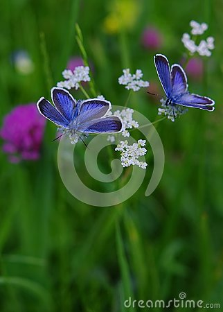 Free Blue Butterflies Stock Photo - 103079990